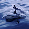 dadolphins